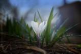 Пролетта идва с кокичетата