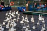 Завръщането на лебедите