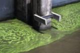 Токсични водорасли оцветиха езерото Окичоби