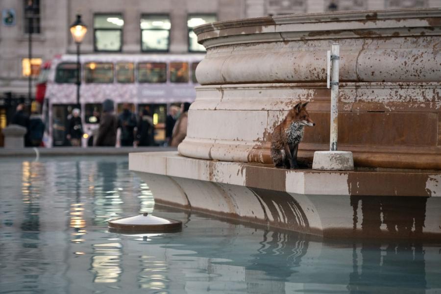Лисица поплува във фонтан в Лондон