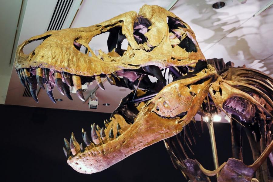 Скелет на T. rex отива на търг