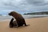 Тюленче излезе на плаж в Сидни