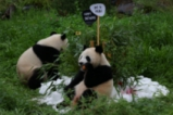 Берлинският зоопарк празнува рожден ден на панди близнаци