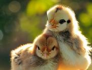 Пиленца лекуват зависимостта на децата от смартфони