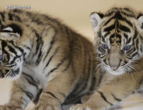 photo of Балийският тигър е обявен за изчезнал животински вид