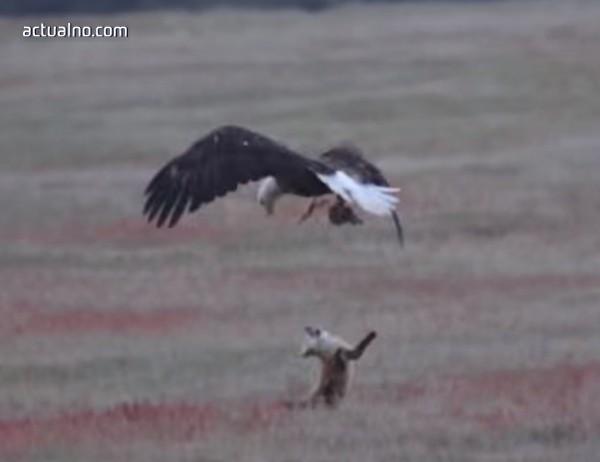 photo of Драматичен бой между лисица и орел заради заек (ВИДЕО)
