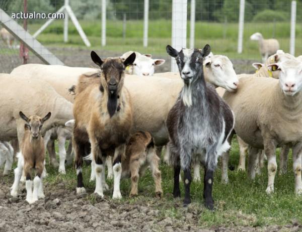 photo of Компютърна фирма ще доставя препарати за чумата по овцете