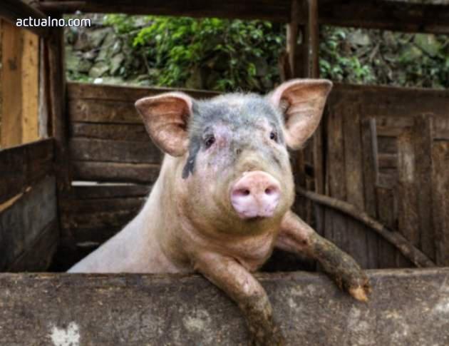 photo of Удължиха срока за умъртвяване на домашните прасета в Пазарджишко